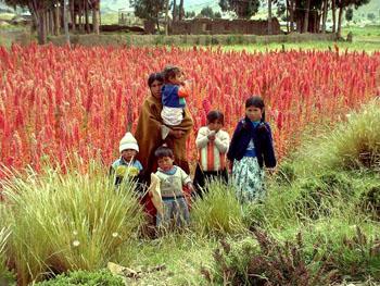 Le quinoa un succ s cultiver le journal du cnrs cnrs for Plante quinoa